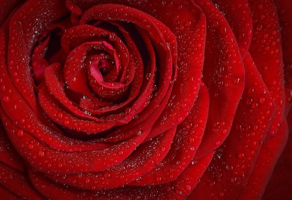 Rose, Rojo, Flor, Naturaleza, Jardín, Macro, Planta